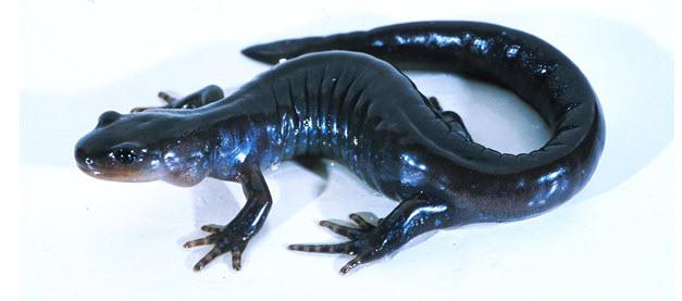 Unisexual mole salamanders in missouri