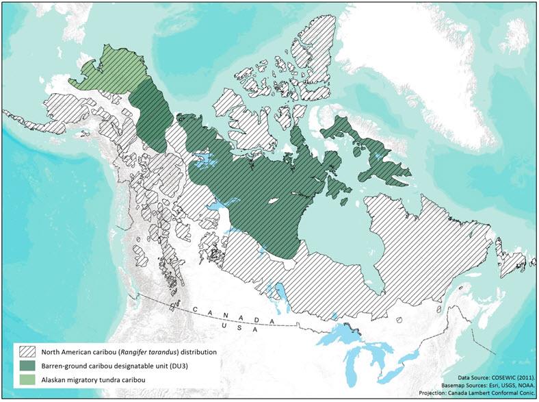 Caribou (Rangifer tarandus) barren-ground population COSEWIC
