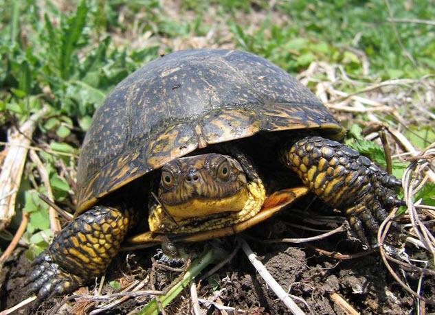 Blanding's turtle (Emydoidea blandingii) select populations