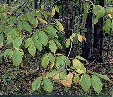Cucumber Tree Magnolia Acuminata Action Plan 2015 Canadaca