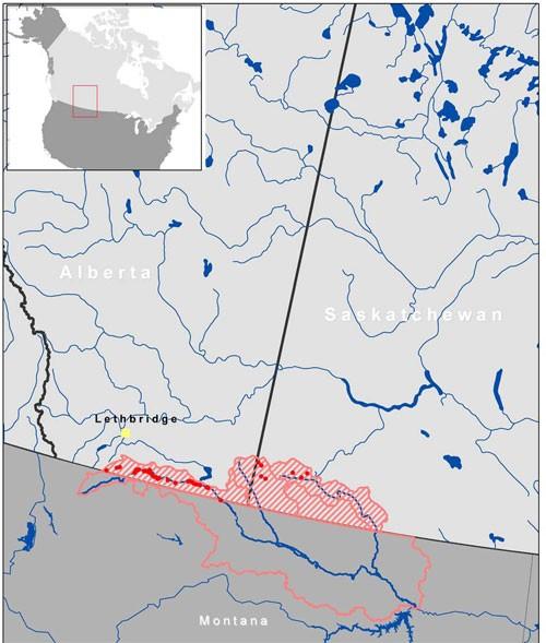 Mountain Sucker Catostomus Platyrhynchus Milk River Populations