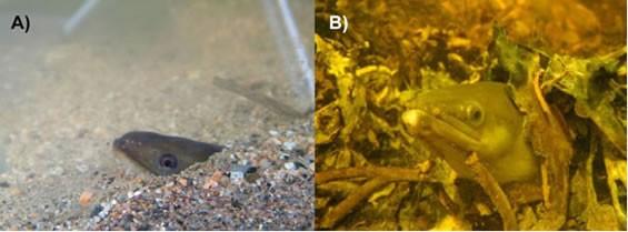 American eel (Anguilla rostrata) COSEWIC assessment and status