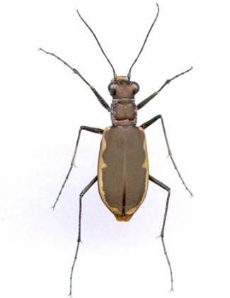 Cobblestone tiger beetle (Cicindela marginipennis): COSEWIC