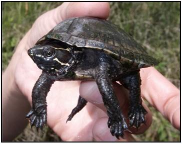 Eastern musk turtle (Sternotherus odoratus): COSEWIC