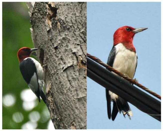 Red Headed Woodpecker Melanerpes Erythrocephalus Cosewic