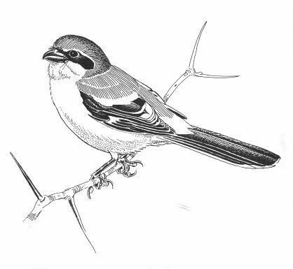 loggerhead shrike migrans subspecies lanius ludovicianus migrans rh registrelep sararegistry gc ca