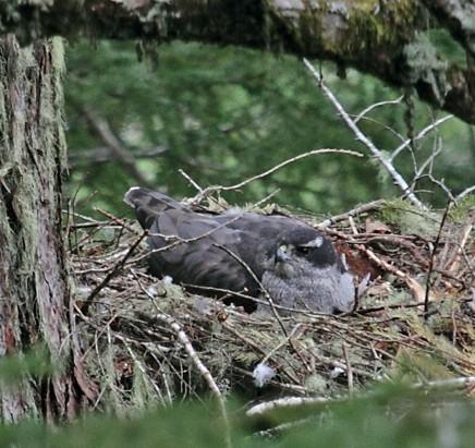 Northern Goshawk laingi subspecies (Accipiter gentilis