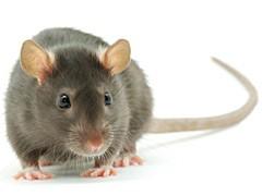 rats and mice canada ca