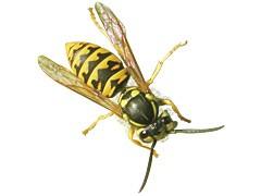 Wasps - Canada ca