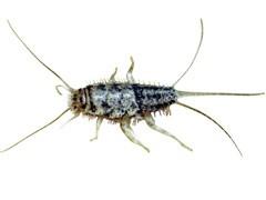 Lépisme Argenté Et Thermobie Canadaca - Insecte humidite salle de bain